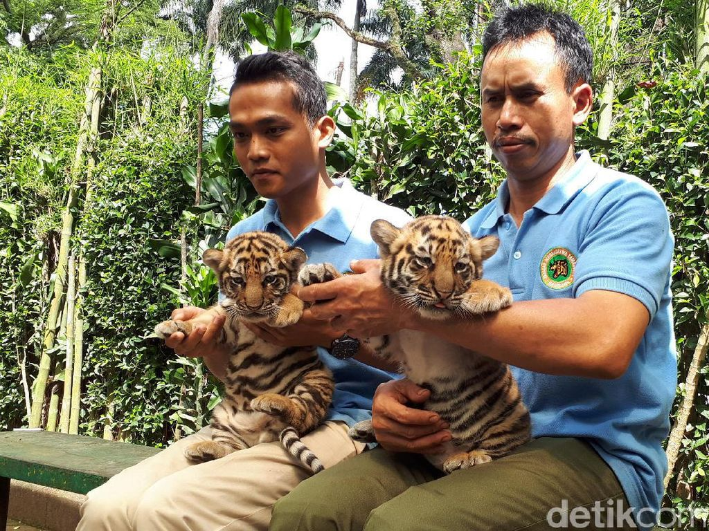 Menggemaskan! 2 Bayi Harimau Shahrukh Khan Lahir di Bunbin Bandung