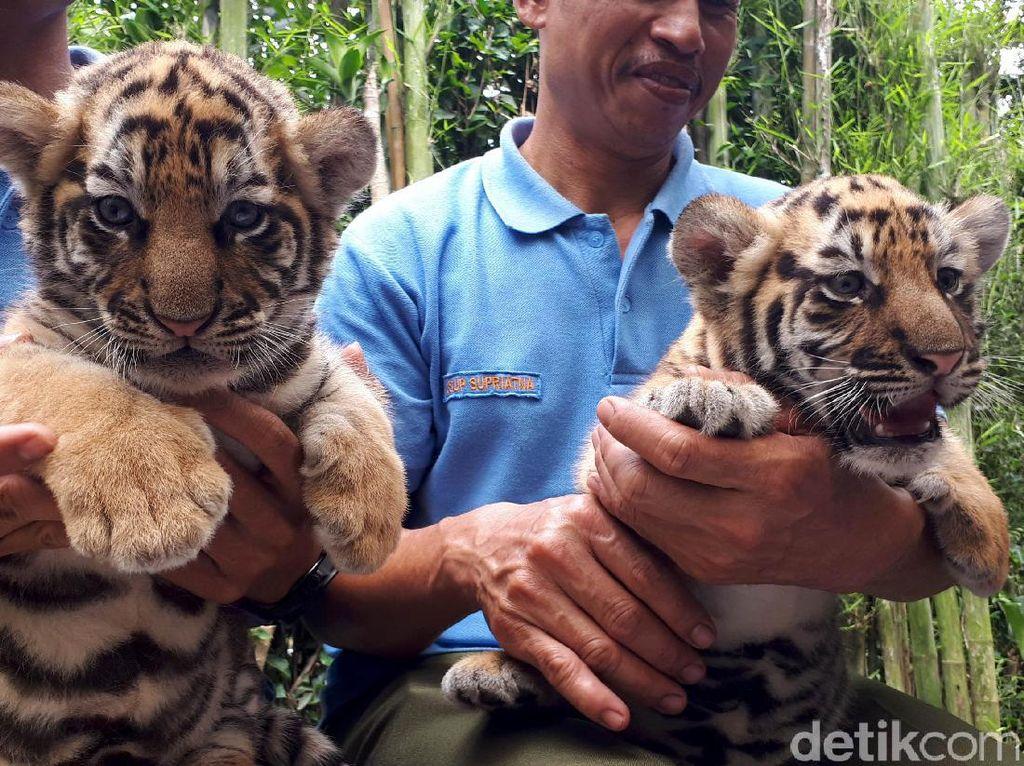 Dua Bayi Harimau Benggala Lahir di Kebun Binatang Bandung