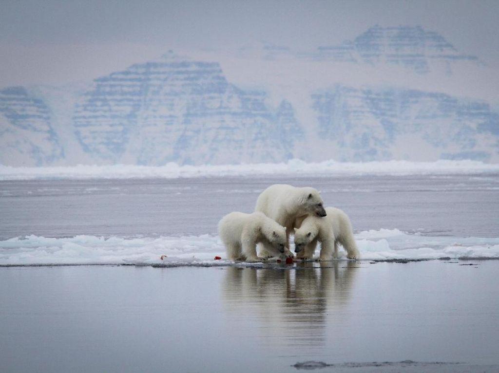 Arktik Menghangat Hebat, Greenland Mencair Lebih Cepat