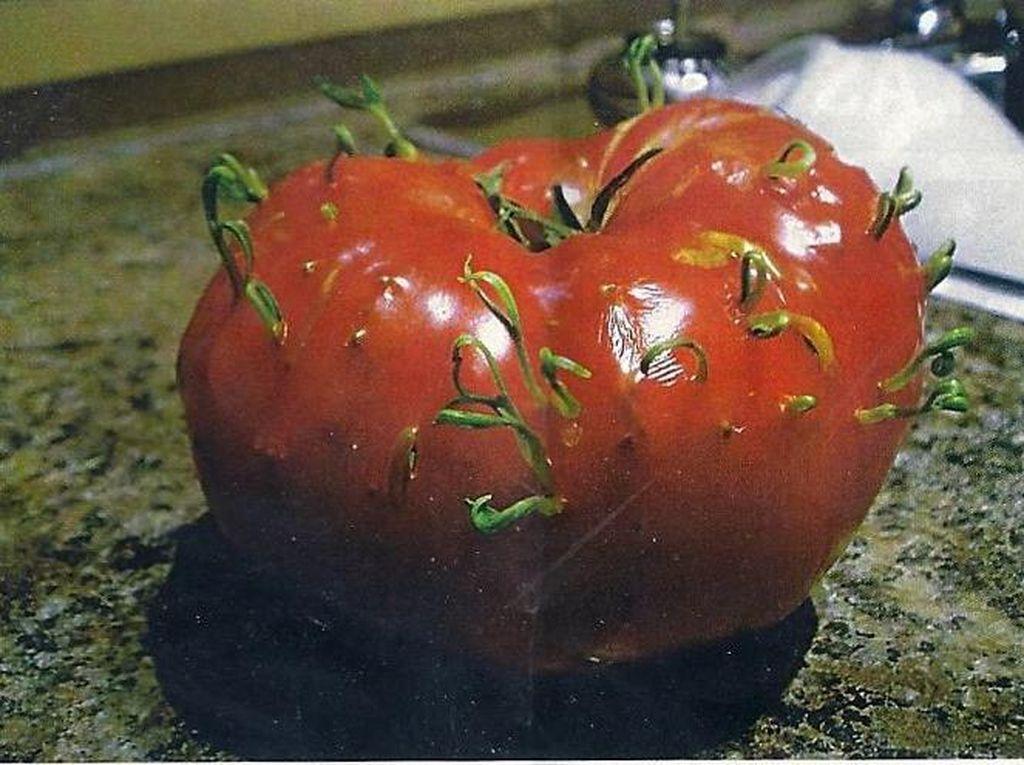 Lihat Kol hingga Tomat Berkecambah Ini, Unik atau Bikin Ngeri Ya?