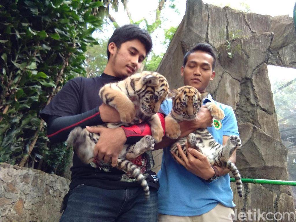 Pemuda di Bandung Ini Jadi Ayah Asuh Bayi Harimau Sharukh Khan