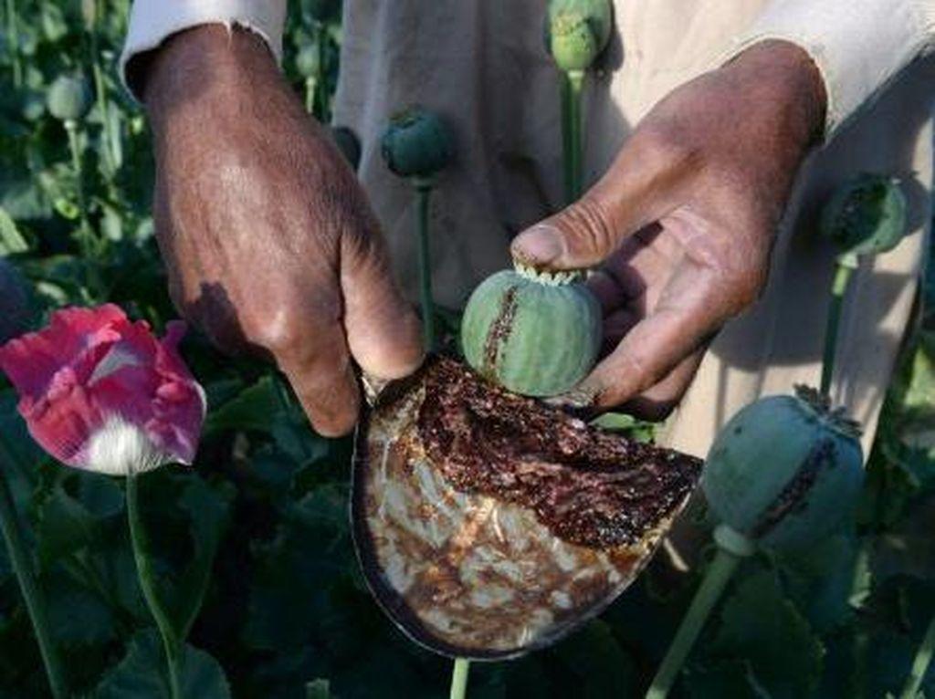 Dari Opium ke Heroin, Taliban Jadi Produsen Narkotika