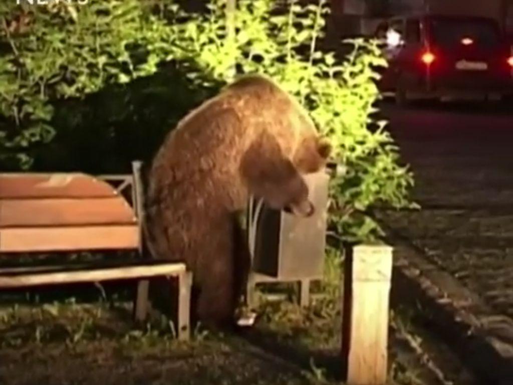 Beruang Lapar Serbu Kota di Rumania, Ternyata Ini yang Diincar