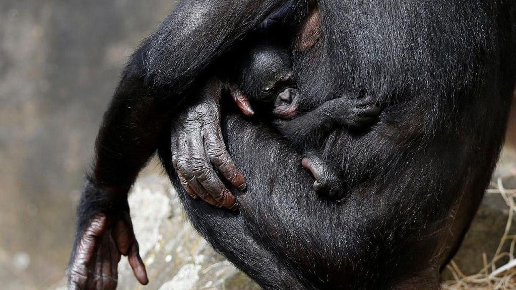 Kebun Binatang Belgia Tambah Koleksi Bayi Simpanse