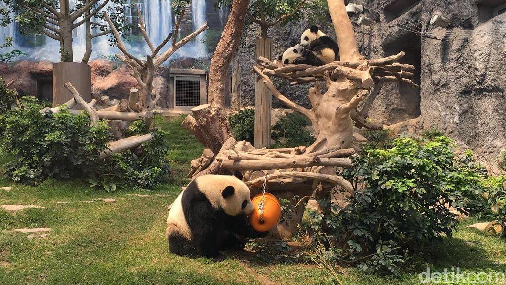 Foto: Panda-panda Gembul di Makau