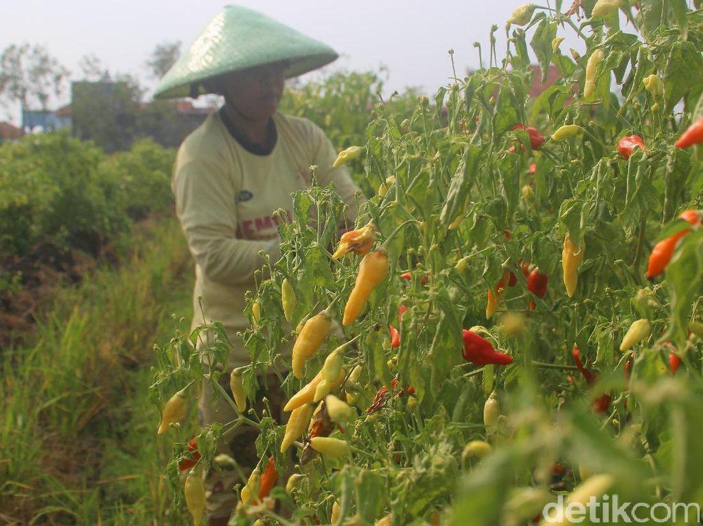 Harga Cabai Masih Tinggi, Pedagang: Petani yang Petik Sedikit
