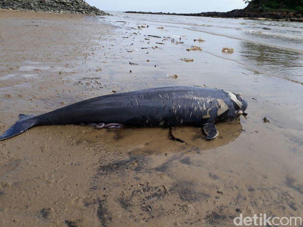 Lumba-lumba Ditemukan Mati di Pantai Melawai Balikpapan