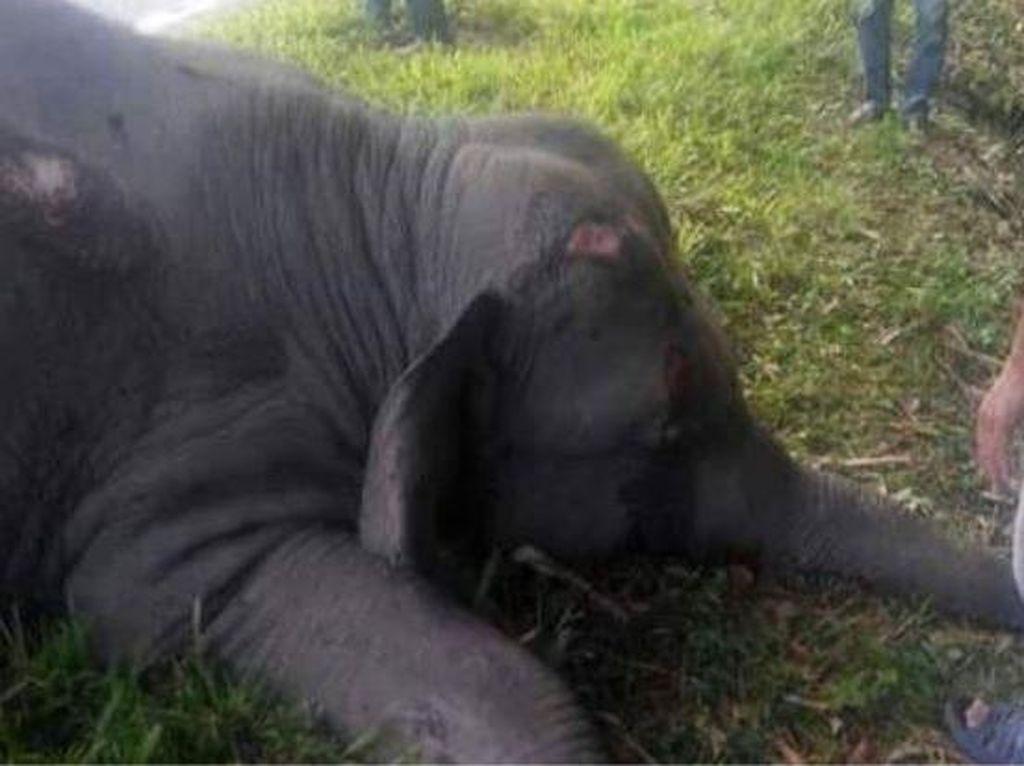 Gajah Bunta Mati Diracun, KLHK akan Panggil CRU Serbajadi Aceh