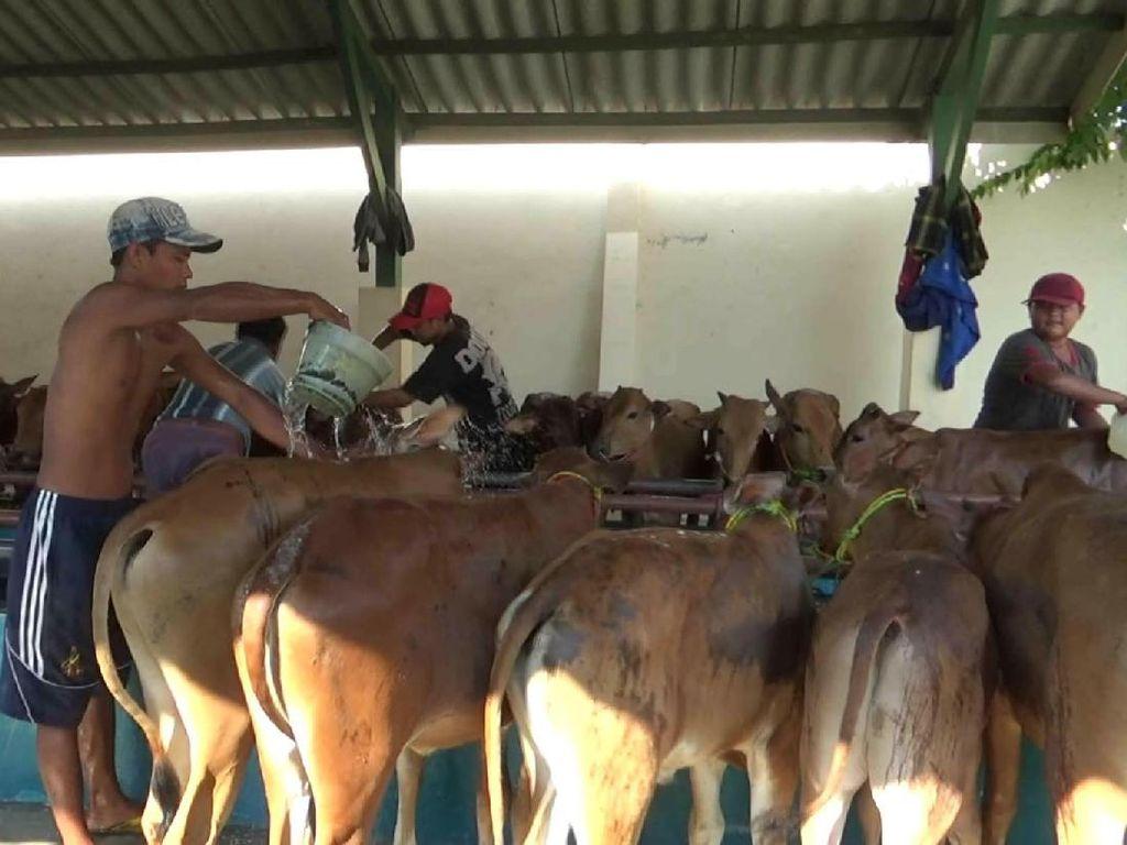 Gubernur Soekarwo Pastikan Tidak Ada Sapi Impor Masuk Jawa Timur