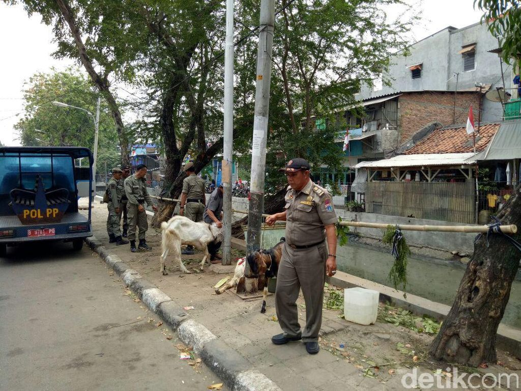 Satpol PP Angkut Kambing Kurban yang Kuasai Trotoar di Tambora