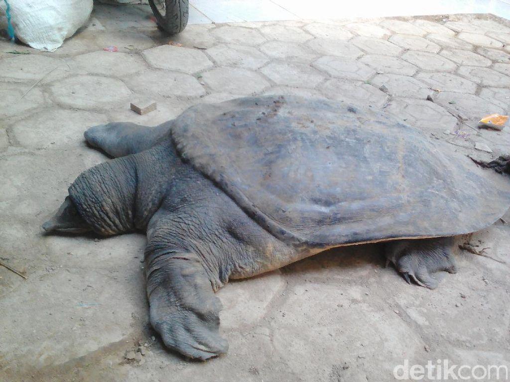 Warga Sembelih dan Makan Kura-kura Langka Penghuni Cisangkuy