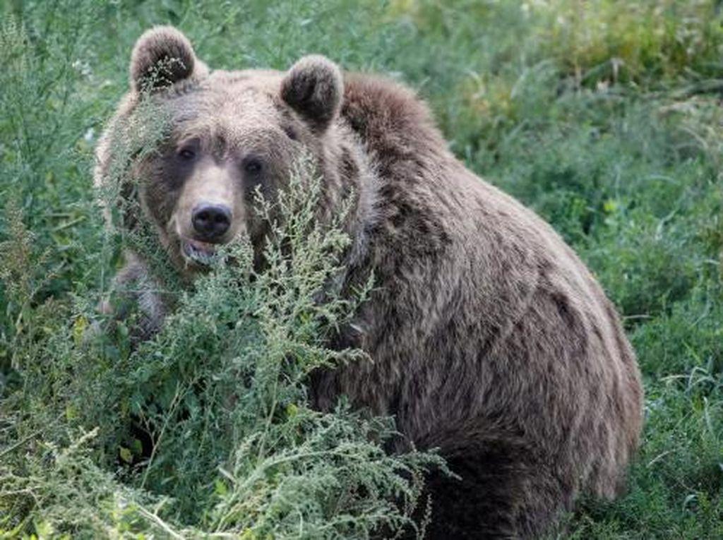 Akibat Perubahan Cuaca, Beruang di Amerika Lebih Pilih Makan Berry Dibanding Salmon