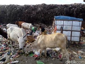 Ini Syarat Menjadikan Sapi Pemakan Sampah untuk Sembelihan Kurban