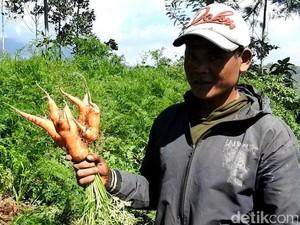 Penampakan Kebun Wortel Gemuk Ilegal Asal China