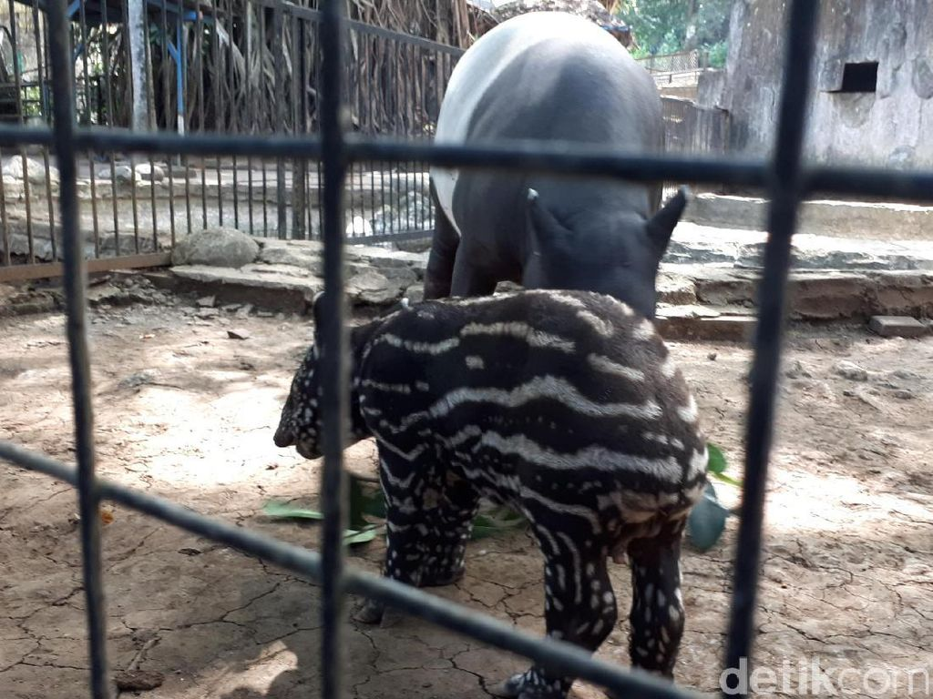 Siapa Mau Jadi Cari Bapak Asuh Bayi Tapir di Bunbin Bandung?