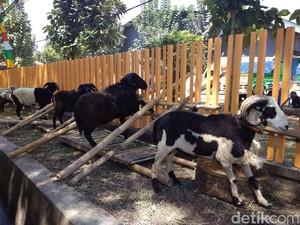 Ribuan Ekor Domba Tidak Laik Kurban Ditemukan di Bandung