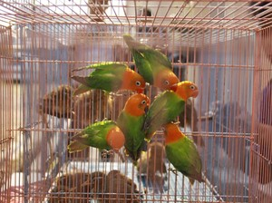 19 Burung Berkicau Asal China Dimusnahkan Karantina Surabaya