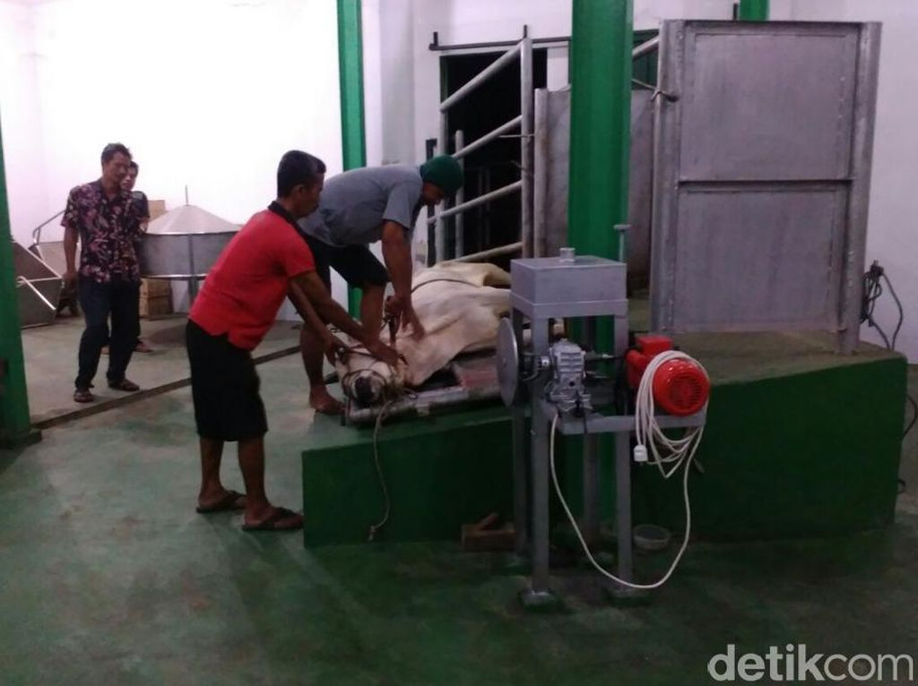 Sapi Betina Dilarang Dipotong Meski Permintaan Daging Tinggi