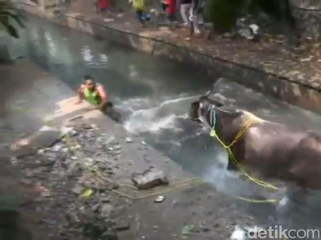 Ngamuk, Sapi Kurban Seruduk Warga dan Nyemplung Sungai