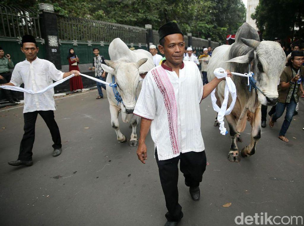 Ini Penampakan Sapi Kurban Jokowi dan JK di Istiqlal