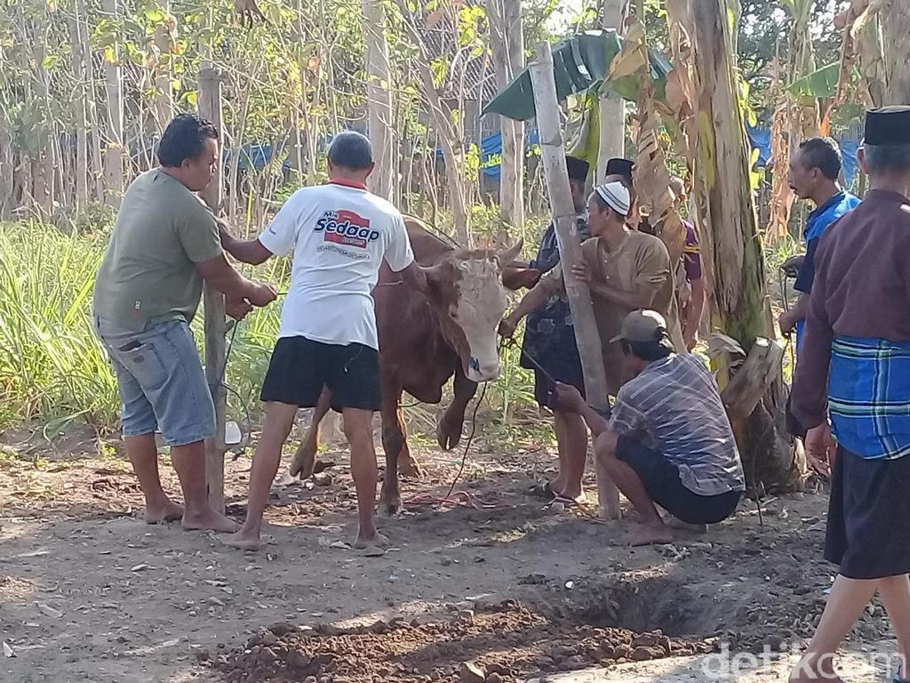 Sapi Kabur Warnai Penyembelihan Hewan Kurban di Magetan