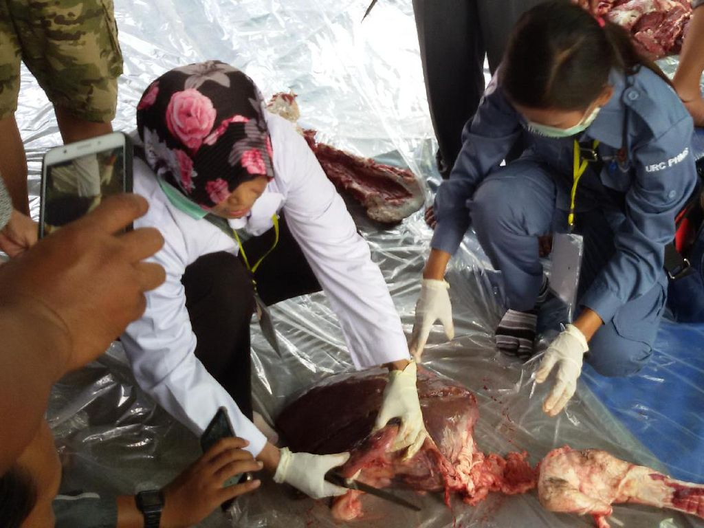 Ada Cacing Hati, Daging Sapi Kurban Jokowi Aman Dikonsumsi