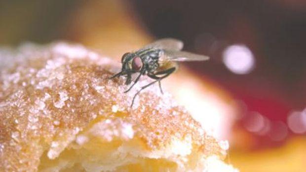 Ilustrasi lalat