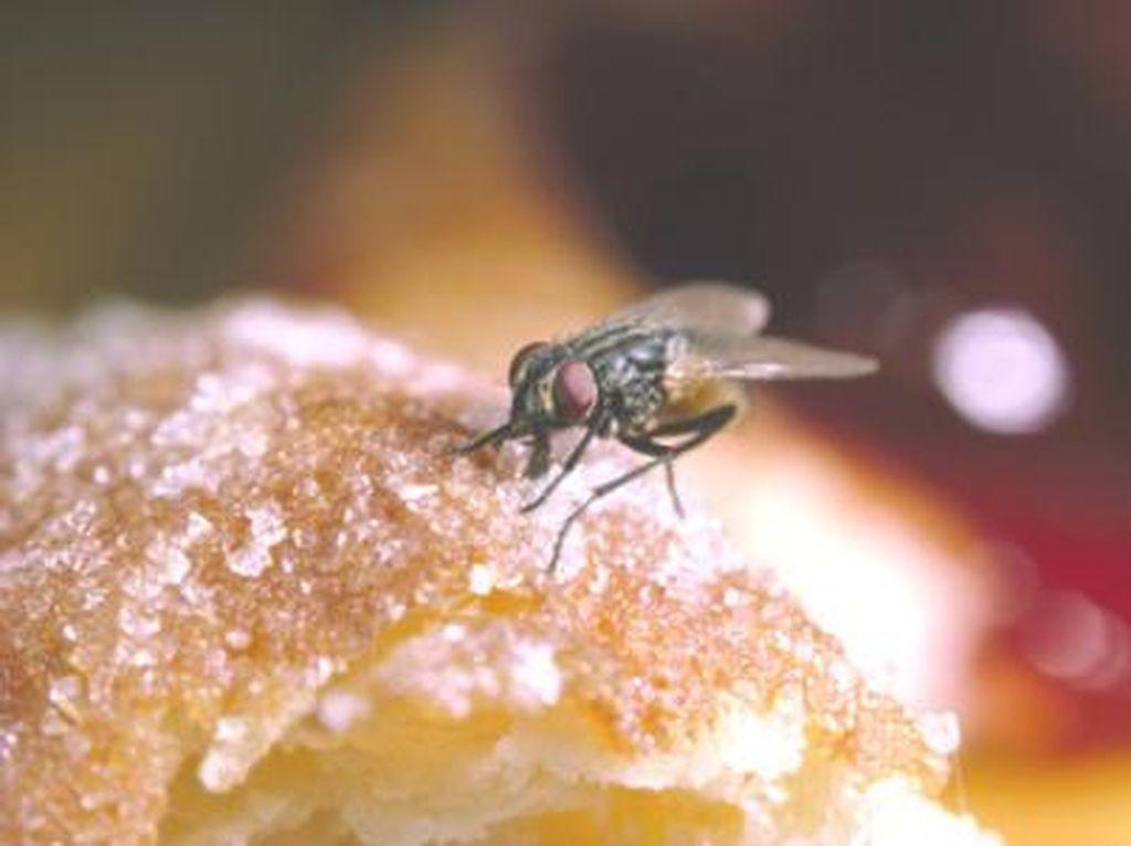 Lalat Terkenal Kotor, Berapa Banyak Bakteri di Tubuhnya?