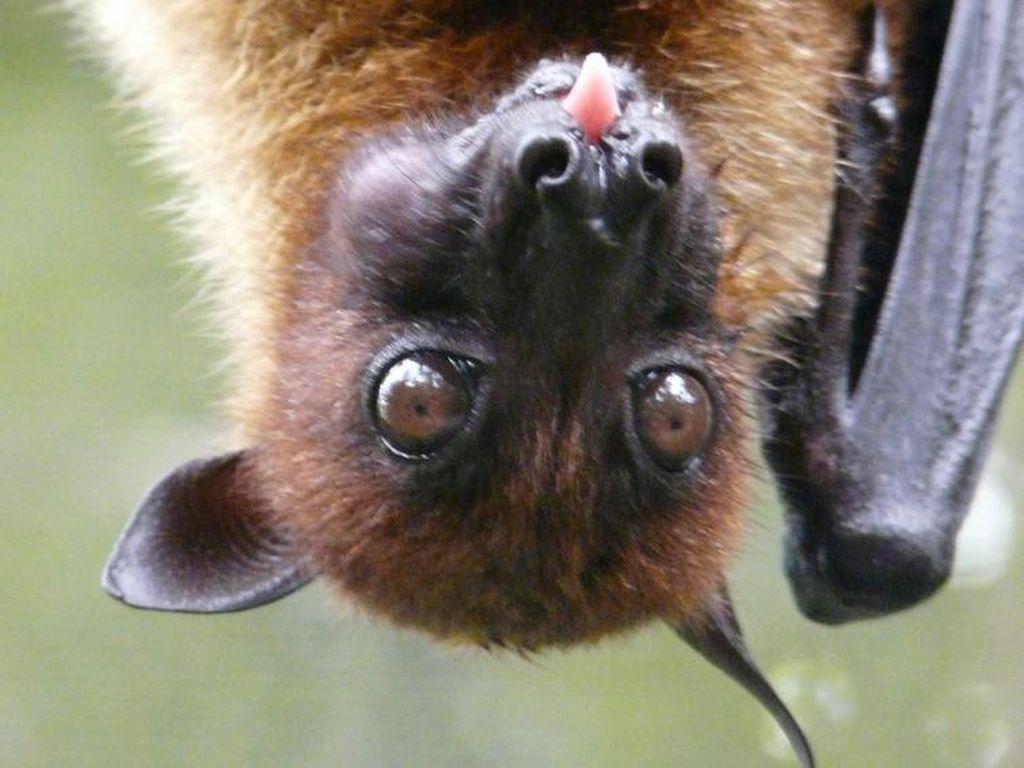 Foto: Vampir di Aceh yang Terancam Punah