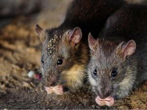Gadis Difabel Diserang Kawanan Tikus Saat Sedang Tidur