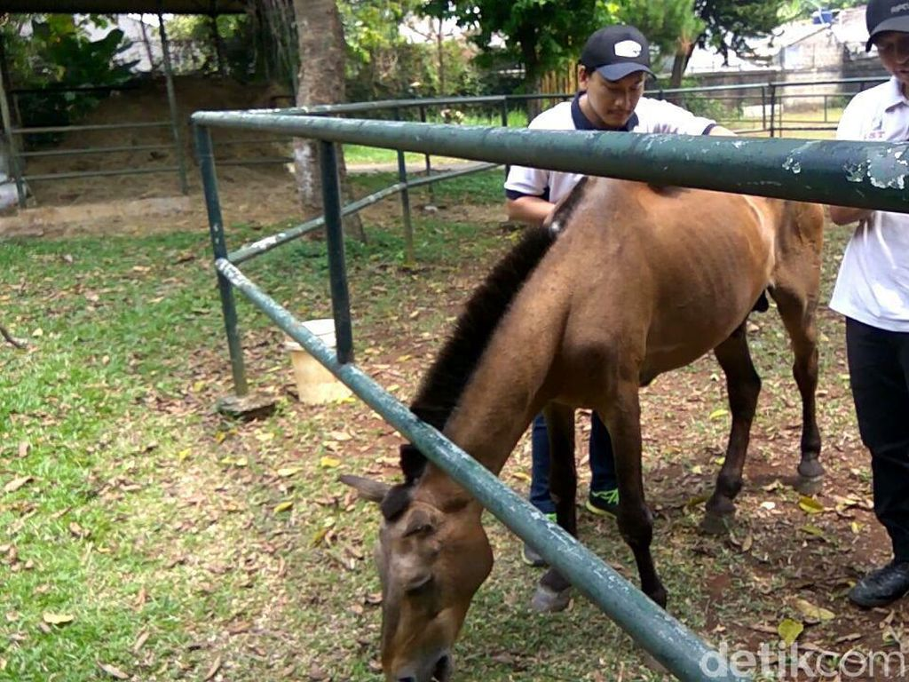 Dulu Dicambuki, Kuda Chester Penarik Delman Kini Dielus-elus