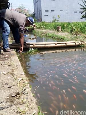 Bosan Kumuh, Selokan Kotor dan Bau Disulap Jadi Lahan Budidaya Ikan