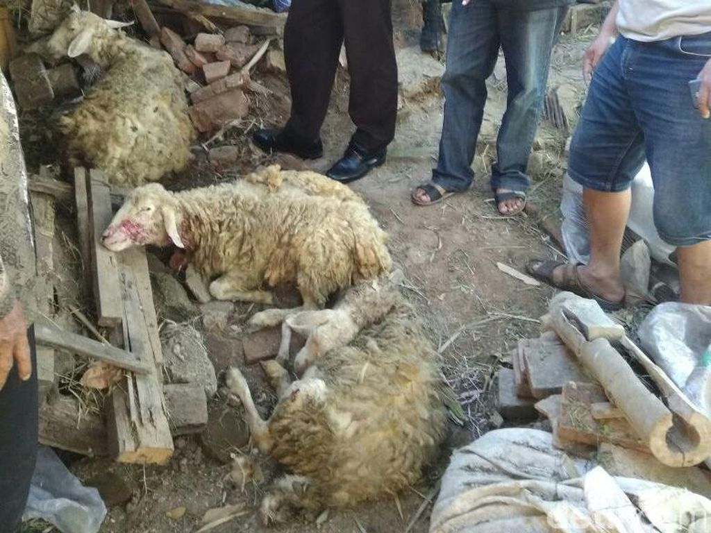 Jumlah Kambing Mati Misterius di Malang Bertambah