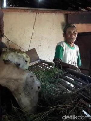 Bau dan Kotor, Ini Dia Kandang Kambing Tempat Tinggal Kakek Datam