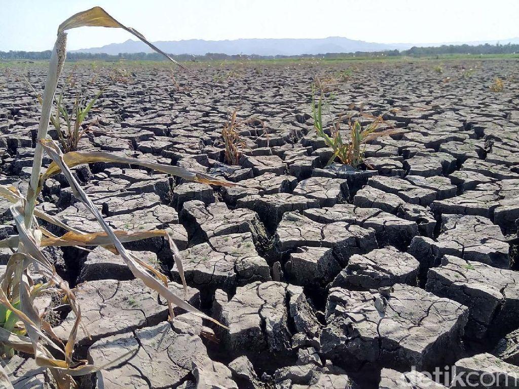 Ribuan Hektare Lahan Padi di Gunungkidul Puso Akibat Kekeringan