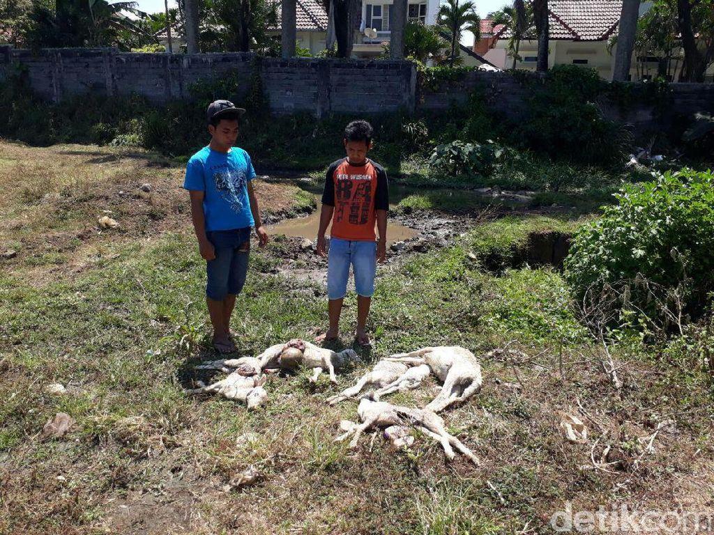 Anak Pemilik Kambing Mati Misterius Pergoki Anjing Berkalung Kain