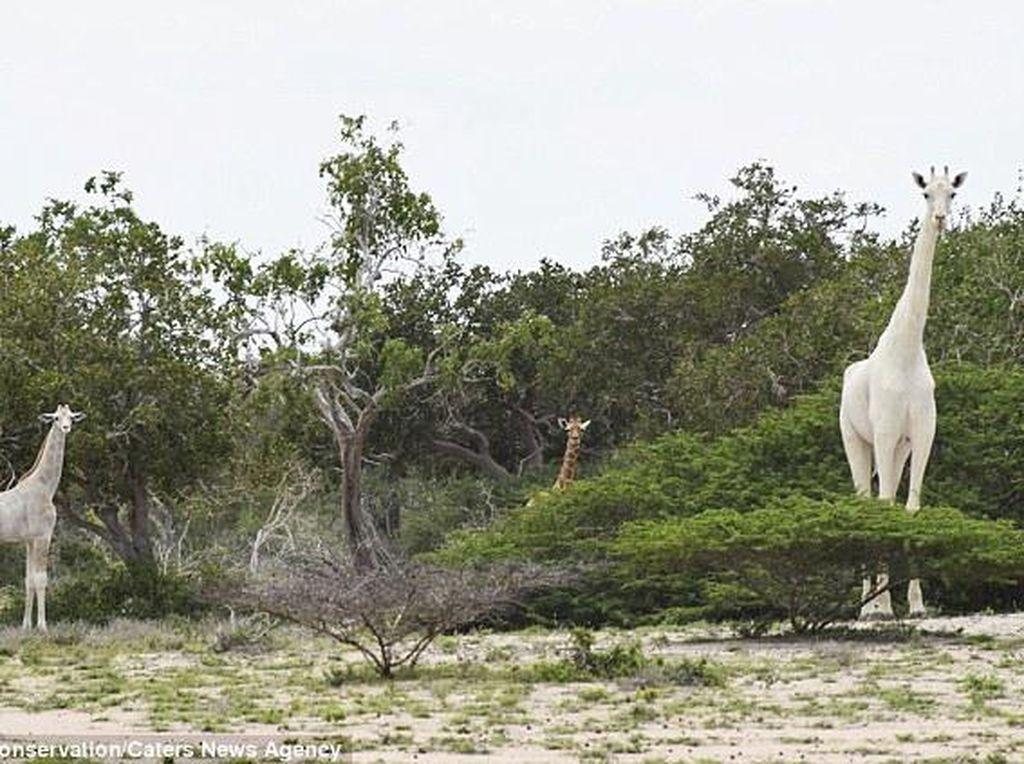 Sedih, Dua Jerapah Putih yang Langka Mati di Tangan Pemburu