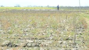 Kemarau, 11 Ribu Hektar Lahan Terbengkalai di Rembang