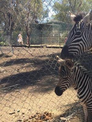 Kebun Binatang di Queensland Sambut Kelahiran Bayi Zebra Pertama