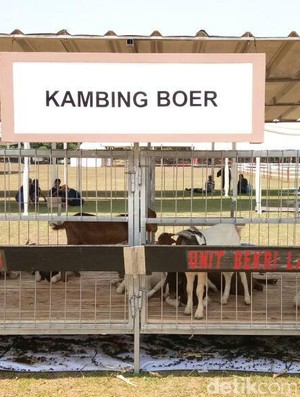 Mau Belajar Ternak Kambing dan Domba? Yuk Datang ke Cibubur