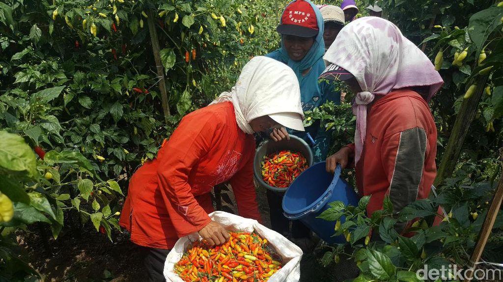 Kabupaten Malang Target Produksi Cabai 25 Ribu Ton