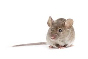 Hii! Tikus Masuk ke Celana Pengunjung di Restoran Ini