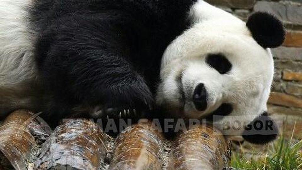 So Cute! Ini Cai Tao-Hu Chun, Giant Panda yang Segera Tiba di RI
