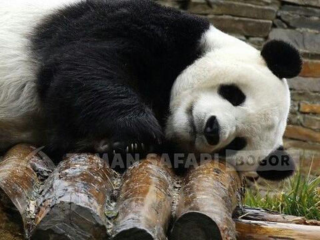 Sepasang Panda China Diterbangkan ke Indonesia