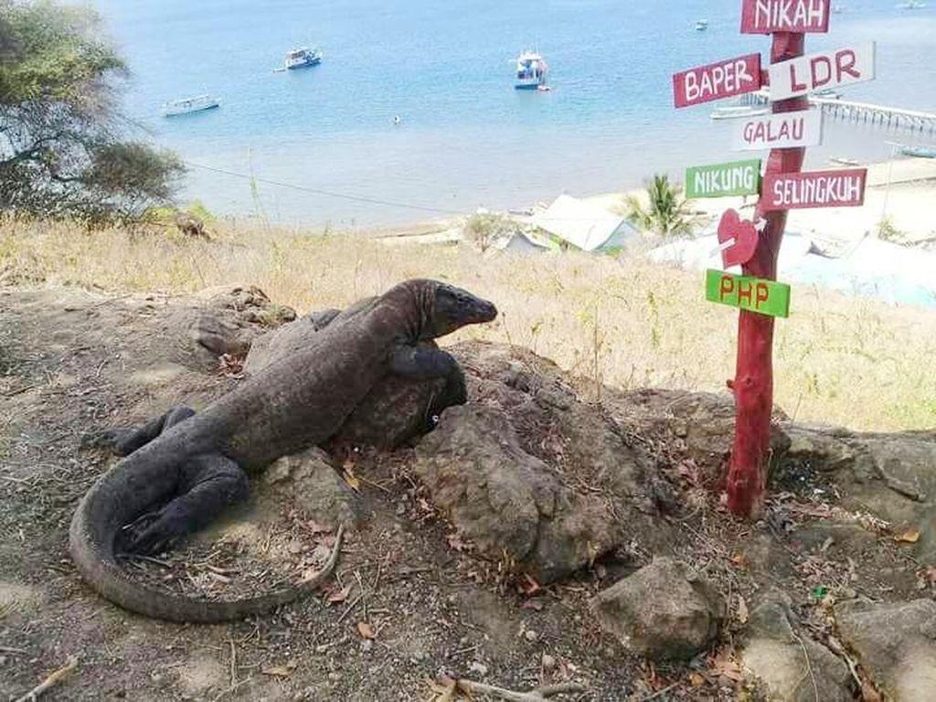 Gubernur NTT Ingin Tutup Pulau Komodo, Pengusaha Travel: Ngawur!