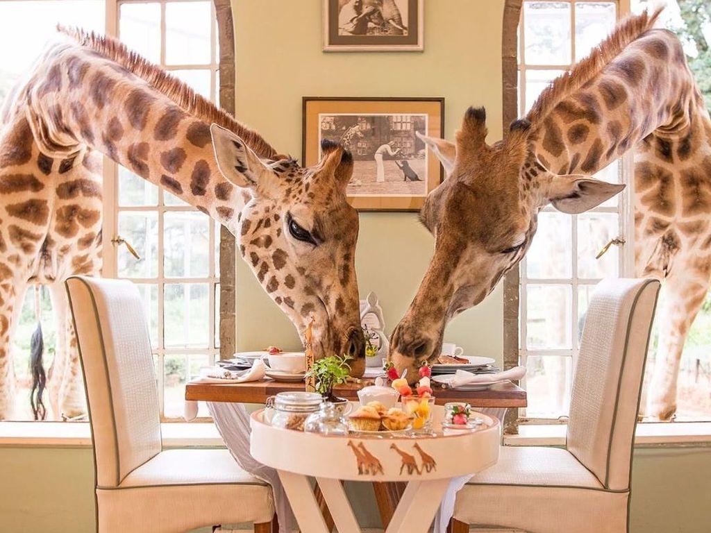 Makan Bersama Jerapah, Mau?