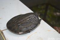 Kisah Mistis Kura-kura Belawa Cirebon