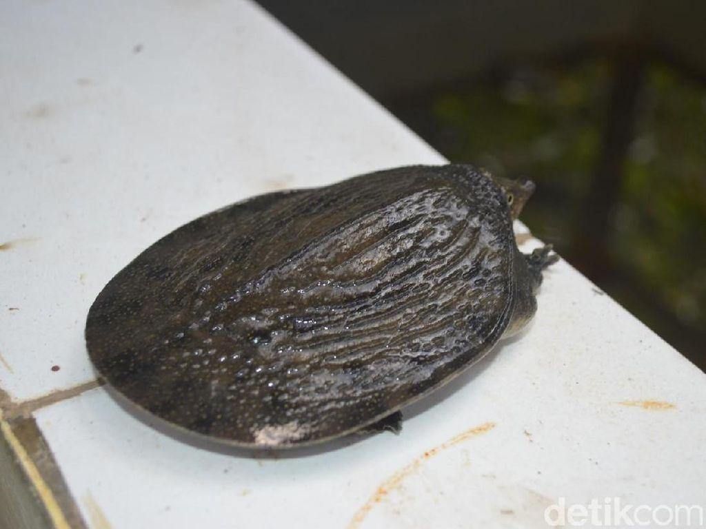 Ini Kura-kura Belawa yang Langka di Cirebon