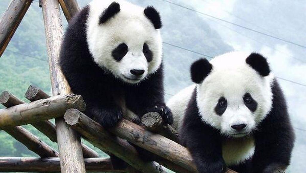 Panda, Diplomat China yang Paling Menggemaskan