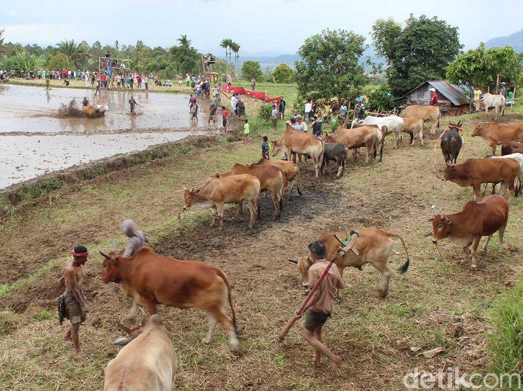 Foto: Tradisi Balap Sapi Khas Minang
